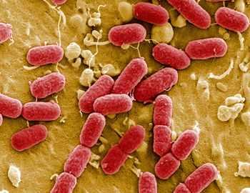 бактерии приводящие к ожирению