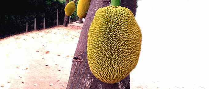 джекфут на дереве