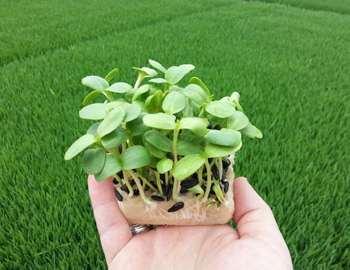 ростки подсолнечника