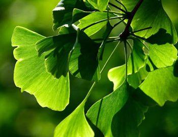 лист дерева Гинкго