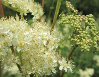 цветы таволожника