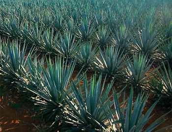 выращивание агавы