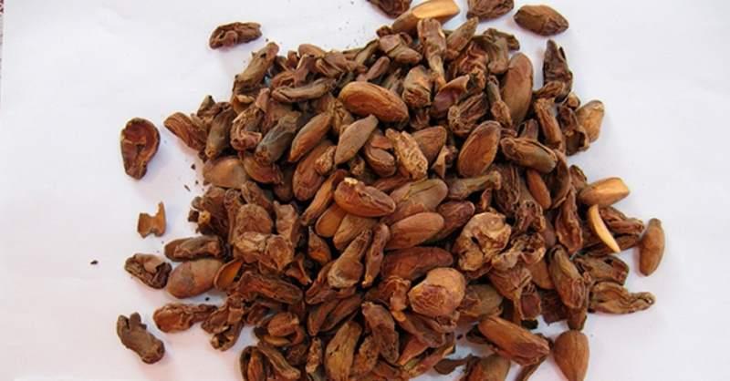 жаренные семена джекфрута взамен какао