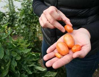 выраенные помидоры