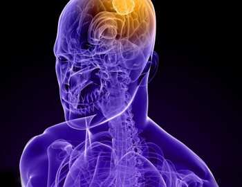 модель мозга человека