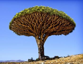 дерево кровь дракона