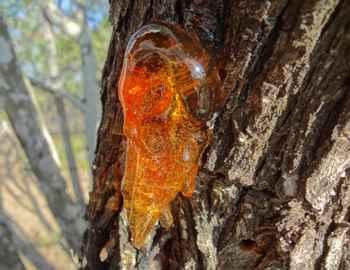 камедь дерева