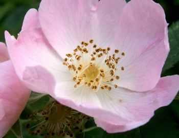 собачья роза