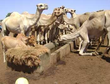 верблюды пьют воду