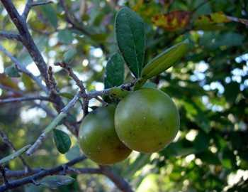 песочное яблоко