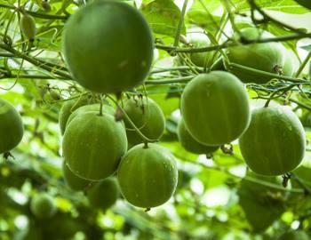 плоды архата