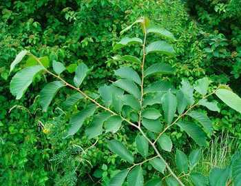 гималайский вяз (лат. Ulmus wallichiana)