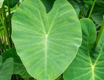 листья таро