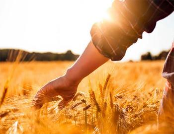 по полю с пшеницей