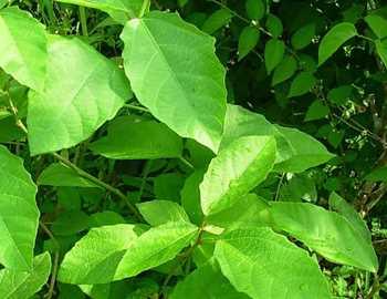 дикая клещевина Baliospermum montanum