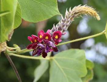 цветок кудзу
