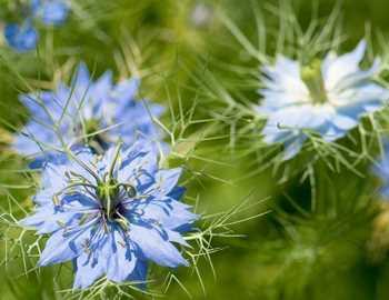 цветы черного тмина