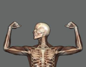 человеческий скелет мышцы рентген