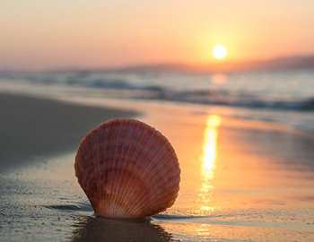 морской гребешок на пляже