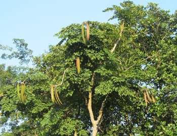 Ороксилум индийский