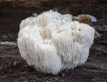 гиб Hericium erinaceus