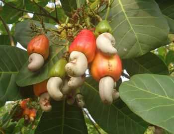 плоды кешью